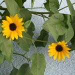 Meine Lieblingsblume und Signet für Brunschwiler's Rudenz B&B